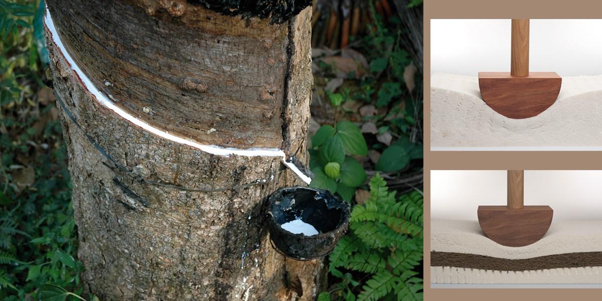 Naturlatex wird aus der abgezapften Milch des Kautschukbaumes gewonnen