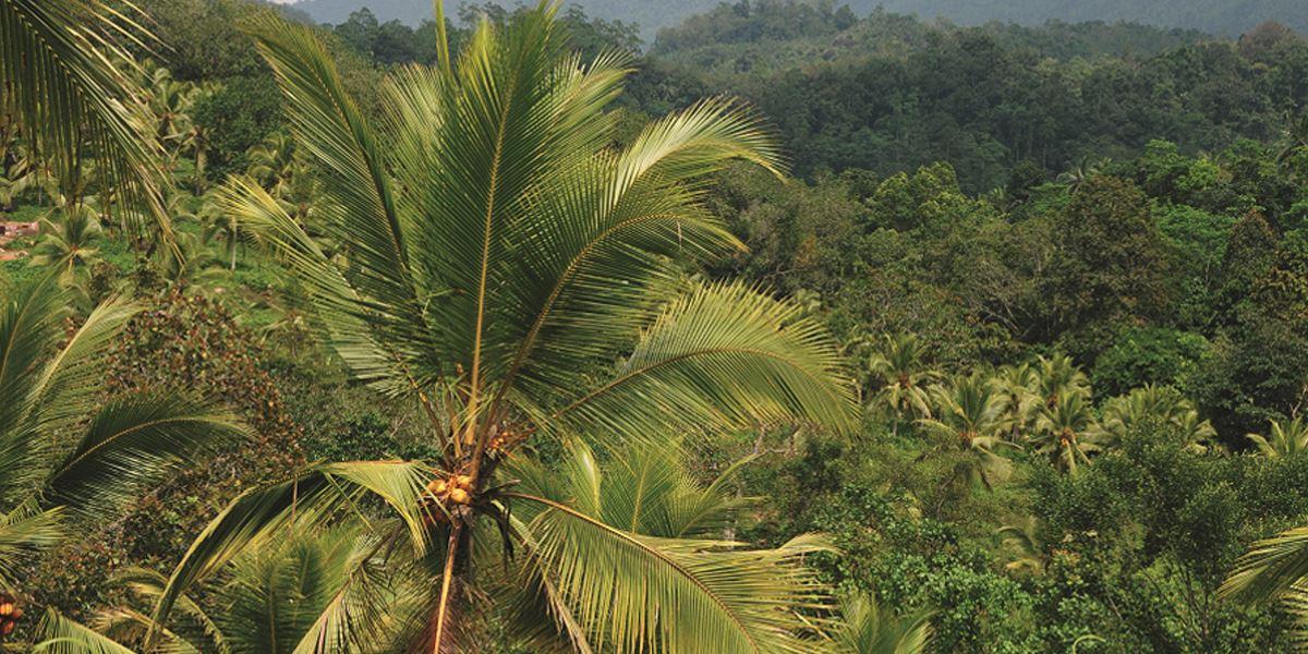 Ein tropischer Kautschukbaum
