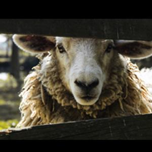 Schafschurwollflor