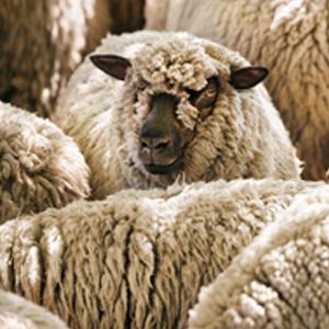 Schafschurwolle für Auflagen